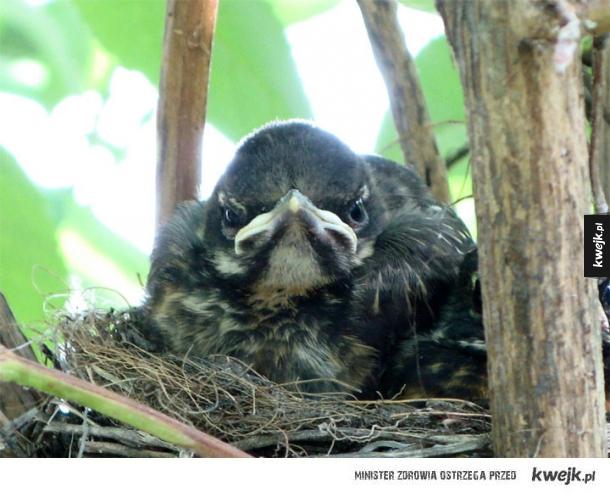 Prawdziwe Angry Birds