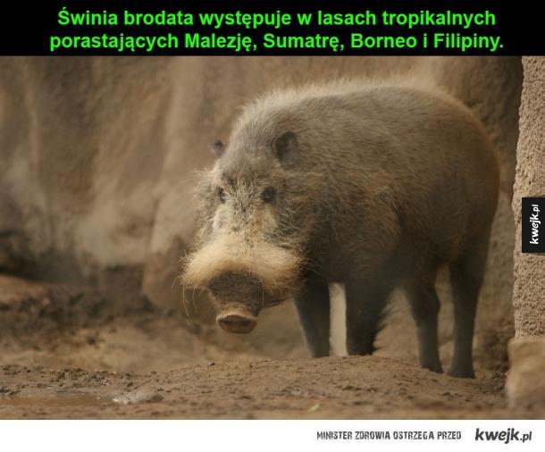 Świnia brodata