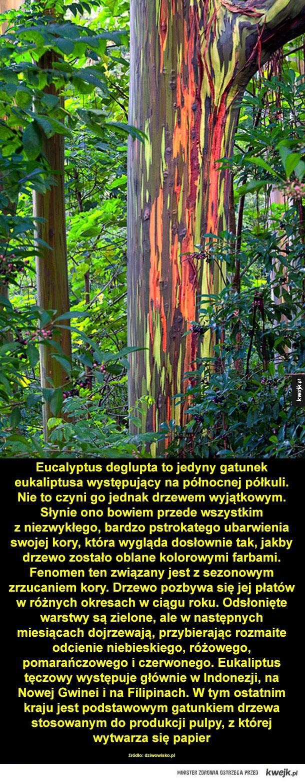Tęczowy eukaliptus - eukaliptus, drzewa, tęcza, zjawisko