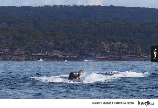 Majestatyczna foka surfująca na wielorybie