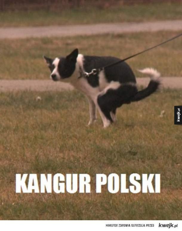 Kangur polski