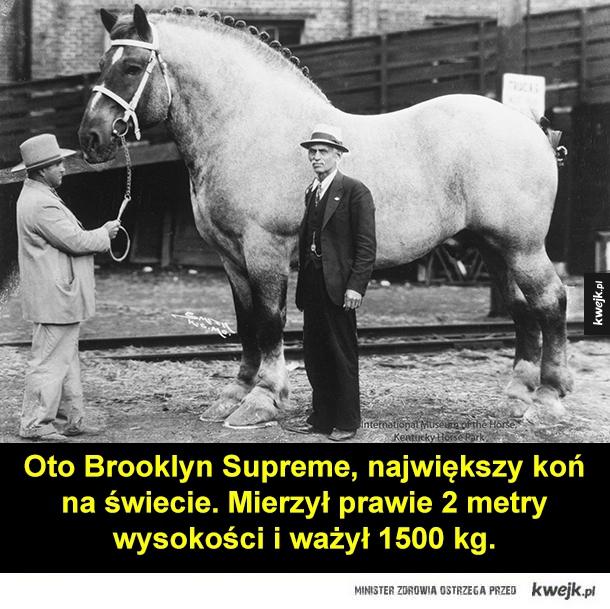 Brooklyn Supreme, ogier z Belgii - Oto Brooklyn Supreme, największy koń na świecie. Mierzył prawie 2 metry wysokości i ważył 1500 kg.