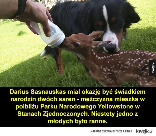 Darius Sasnauskas miał okazję być świadkiem narodzin dwóch saren - mężczyzna mieszka w polbliżu Parku Narodowego Yellowstone w Stanach Zjednoczonych. Niestety jedno z młodych było ranne.