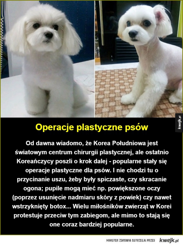 Operacje plastyczne psów. Od dawna wiadomo, że Korea Południowa jest światowym centrum chirurgii plastycznej, ale ostatnio Koreańczycy poszli o krok dalej - popularne stały się operacje plastyczne dla psów. I nie chodzi tu o przycinanie uszu, żeby były spi