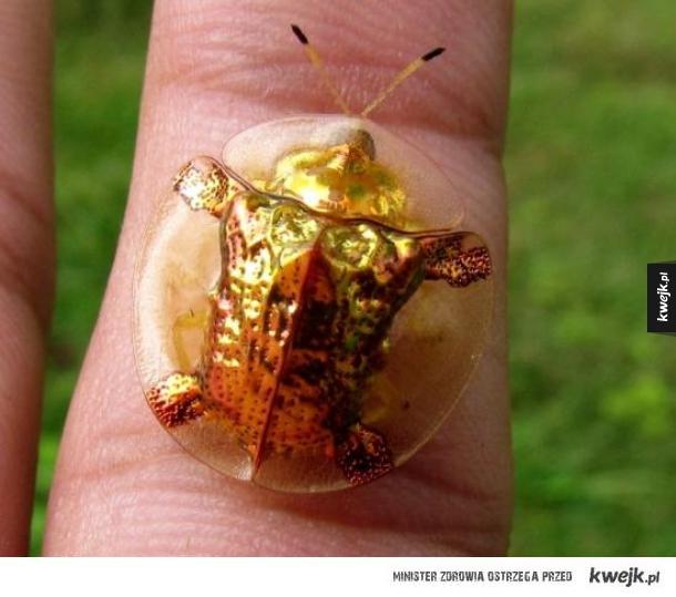 Złoty Żółw chrząszcz