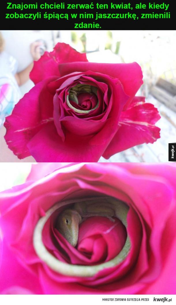 niespodzianka w środku róży