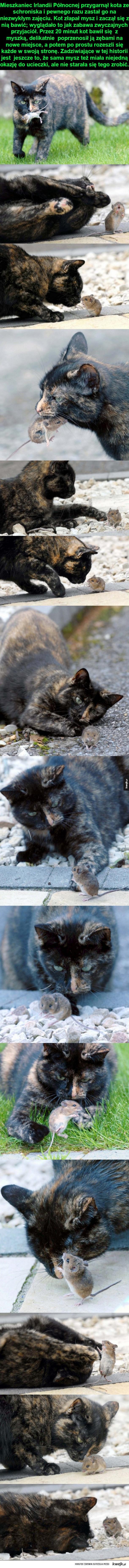 Kot pobawił się z myszką i ją wypuścił