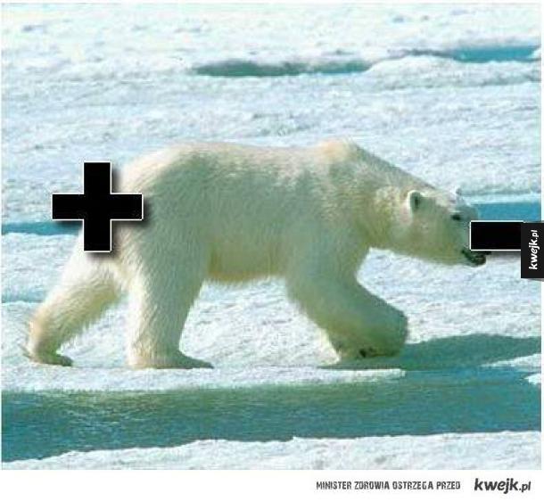 Niedźwiedź dwubiegunowy