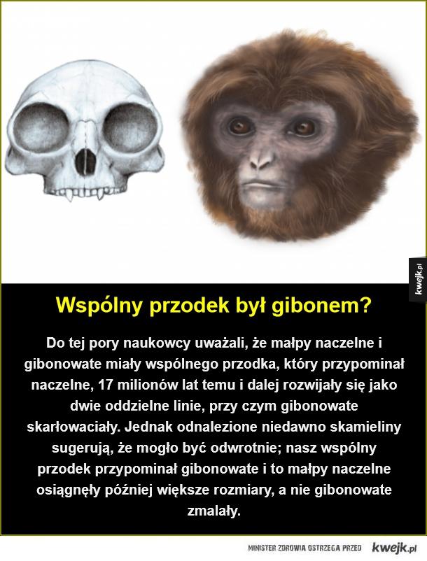 Nasi nowi przodkowie - Wspólny przodek był gibonem?. Do tej pory naukowcy uważali, że małpy naczelne i gibonowate miały wspólnego przodka, który przypominał naczelne, 17 milionów lat temu i dalej rozwijały się jako dwie oddzielne linie, przy czym gibonowate skarłowaciały. Jednak