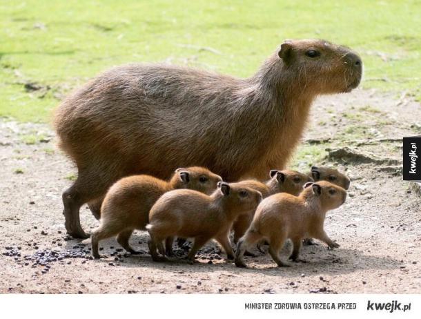 Kapibary :3