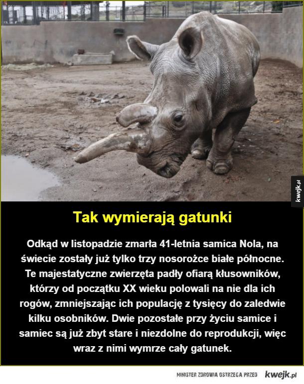 Smutny los nosorożców