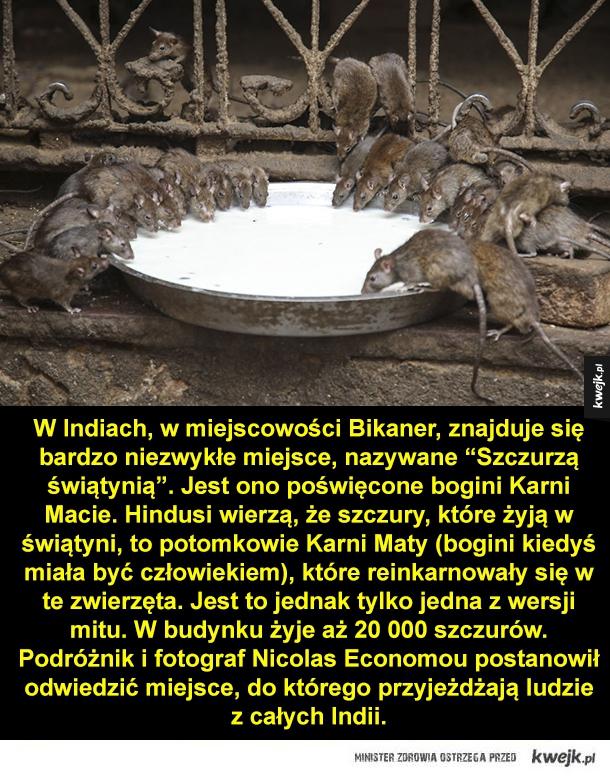 """W Indiach, w miejscowości Bikaner, znajduje się bardzo niezwykłe miejsce, nazywane """"Szczurzą świątynią"""". Jest ono poświęcone bogini Karni Macie. Hindusi wierzą, że szczury, które żyją w świątyni, to potomkowie Karni Maty (bogini kiedyś miała być człowiekie"""