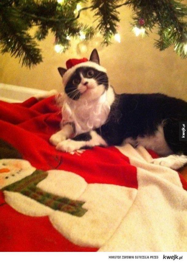 Koty, które nie mogą się doczekać świąt