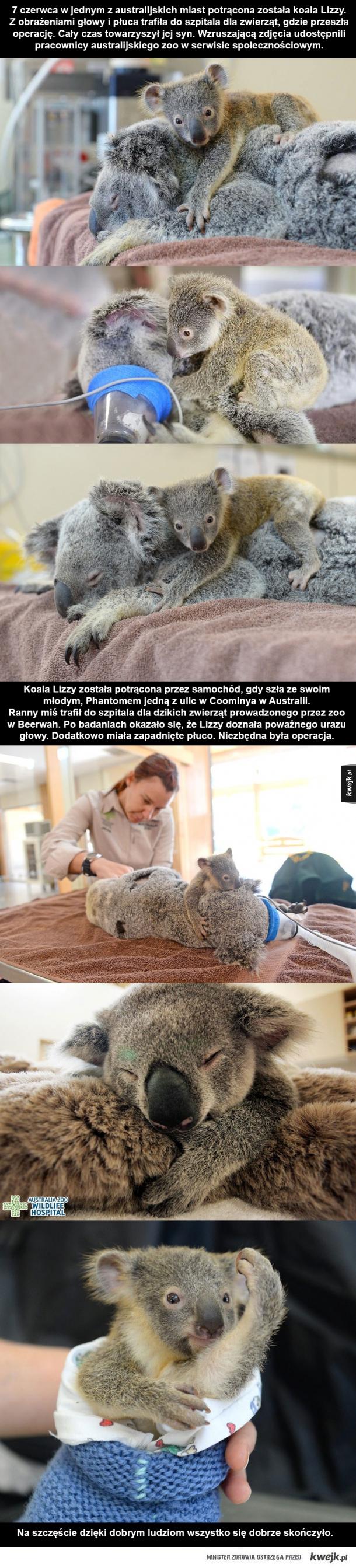 Mały koala podczas operacji swojej mamy
