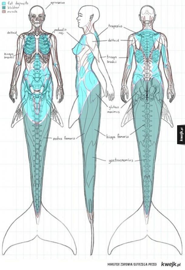 Anatomia syreny