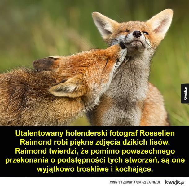 Lisie uczucia - Utalentowany holenderski fotograf Roeselien Raimond robi piękne zdjęcia dzikich lisów. Raimond twierdzi, że pomimo powszechnego przekonania o podstępności tych stworzeń, są one wyjątkowo troskliwe i kochające.