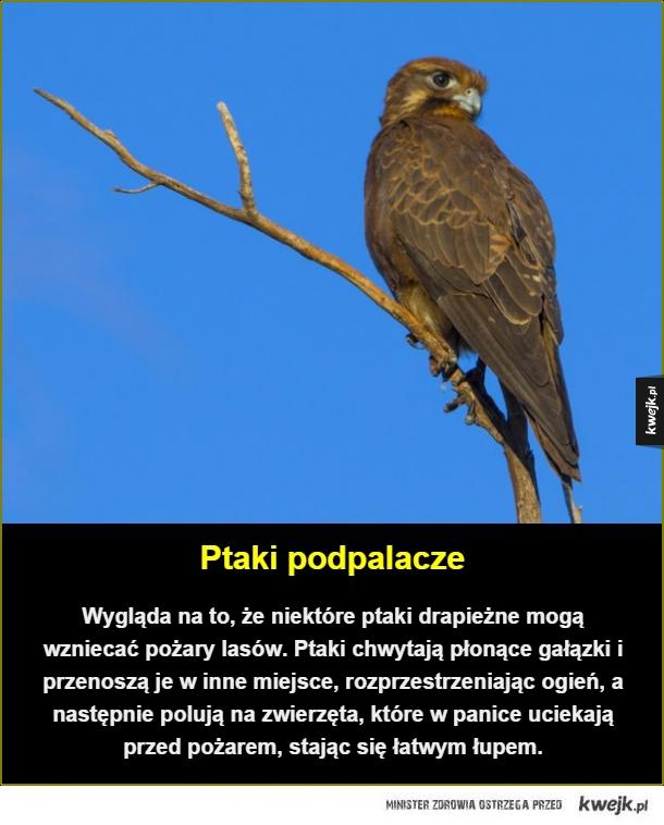 Niektóre ptaki po prostu chcą patrzeć jak świat płonie... - Ptaki podpalacze. Wygląda na to, że niektóre ptaki drapieżne mogą wzniecać pożary lasów. Ptaki chwytają płonące gałązki i przenoszą je w inne miejsce, rozprzestrzeniając ogień, a następnie polują na zwierzęta, które w panice uciekają przed pożarem, stając