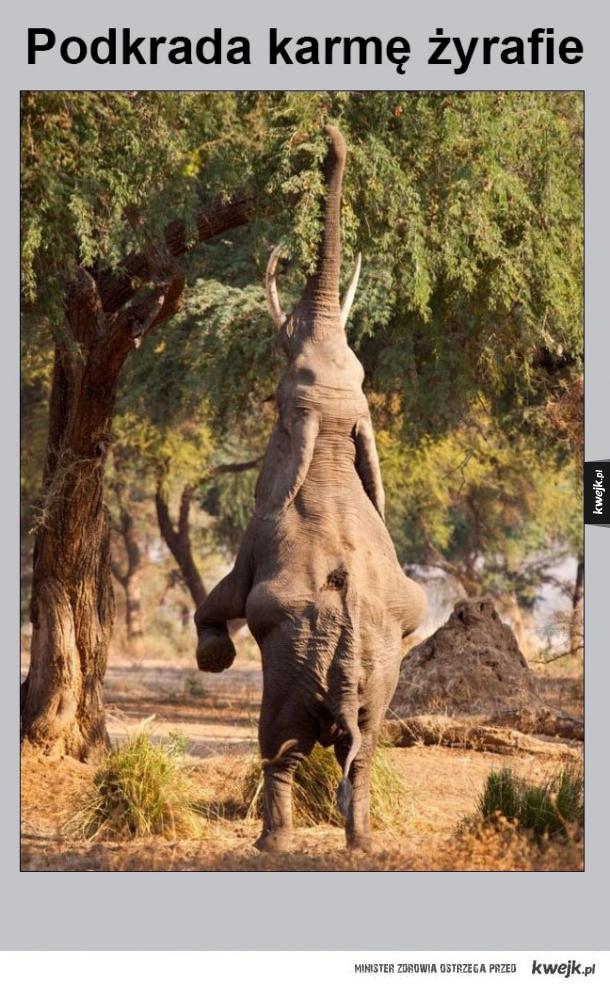Słoń złodziej