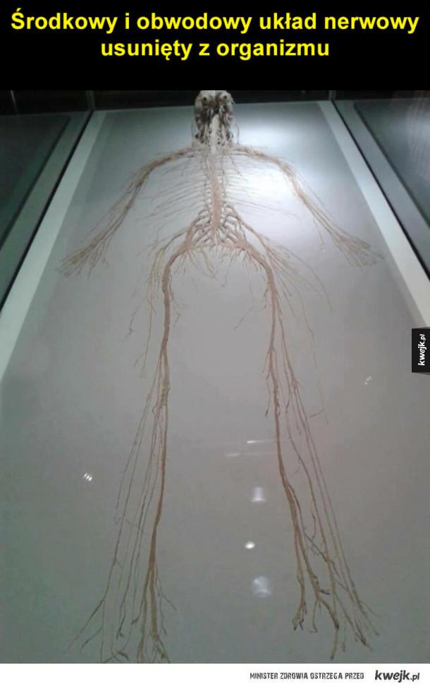 układ nerwowy