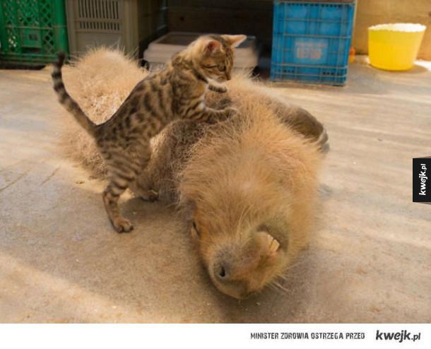 Kapibara bawi się z kociakiem