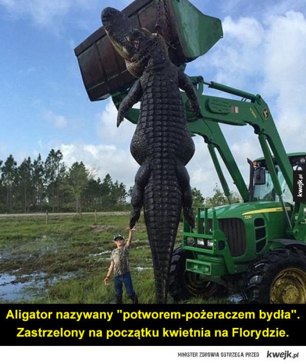 Aligatorek