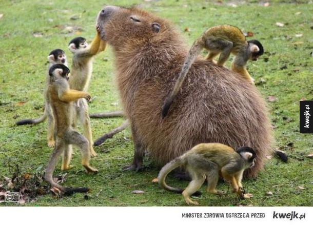 małpki i kapibara