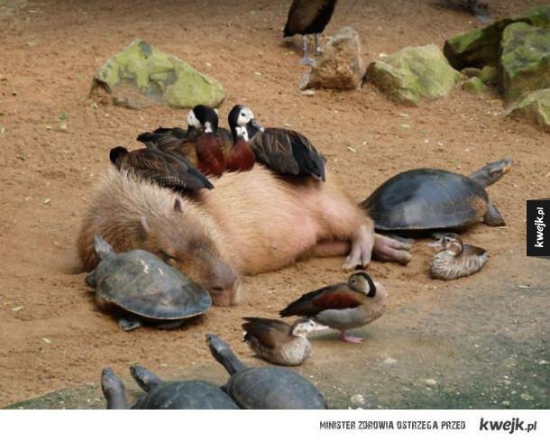 Wszystkie zwierzaki kochają kapibary!