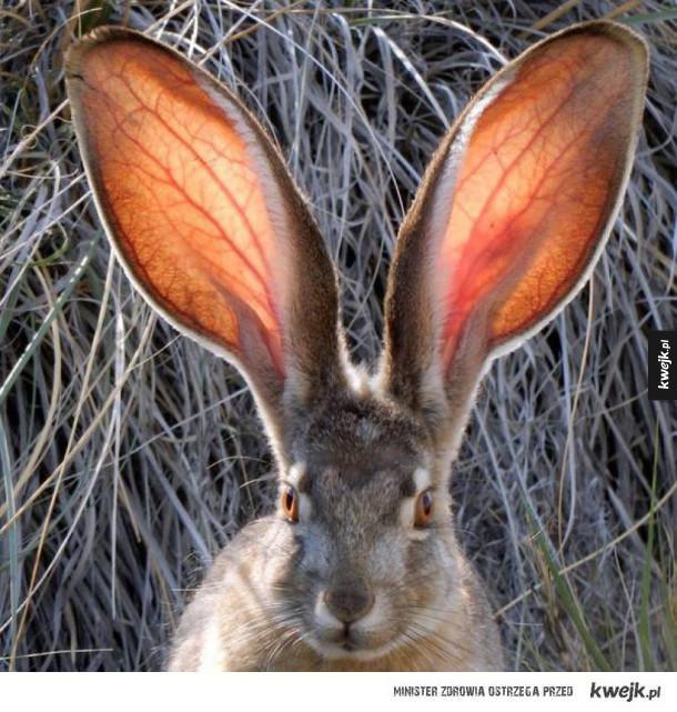 czemu masz takie duże uszy?