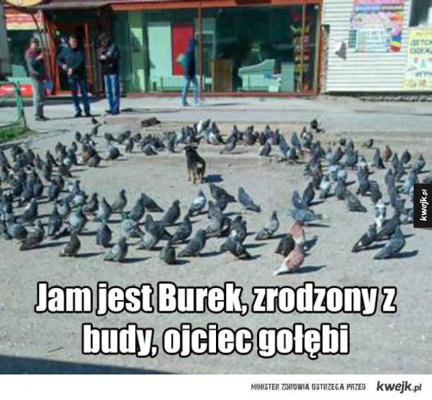 Burek władca gołębi