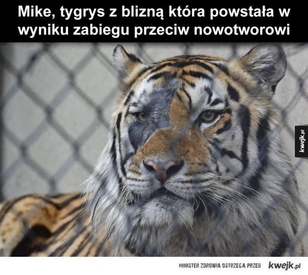 Tygrys z blizną