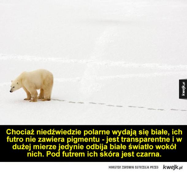 Ciekawostki o niedźwiedziach polarnych