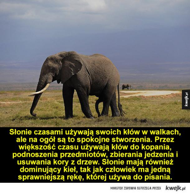 Ciekawostki o słoniach