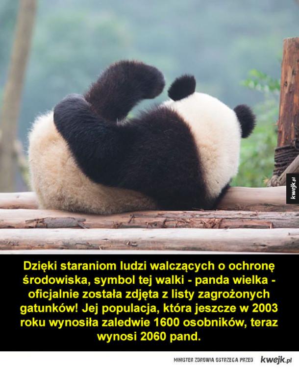 Pandy już nie są zagrożonym gatunkiem!