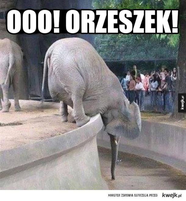 orzeszek