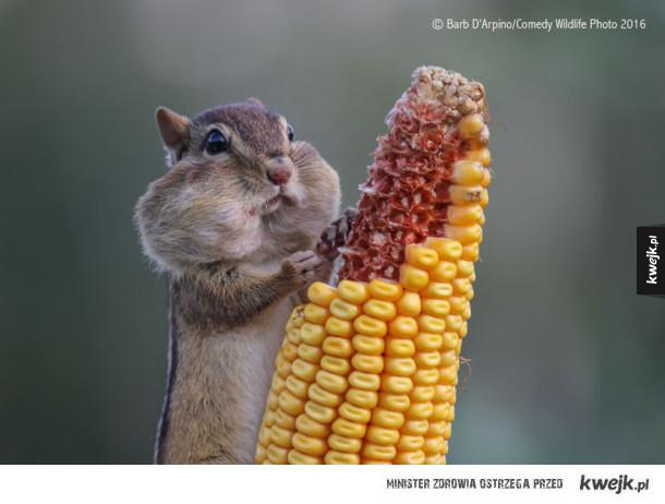 Najzabawniejsze fotografie wyróżnione w konkursie Comedy Wildlife Photography 2016