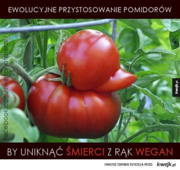 Ewolucyjne przystosowanie pomidorów