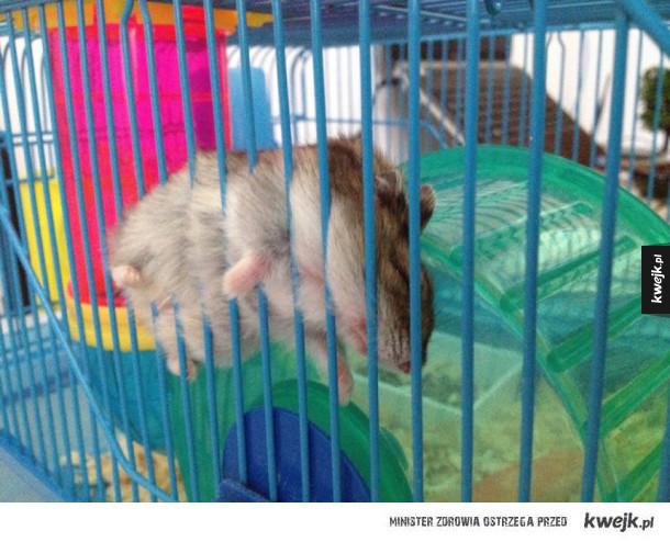 Śpiące chomiczki
