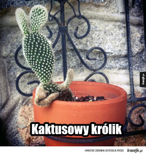 Kaktusowy królik