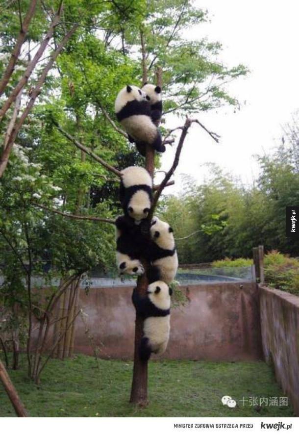Pandy robią to, w czym są najlepsze - są słodkie