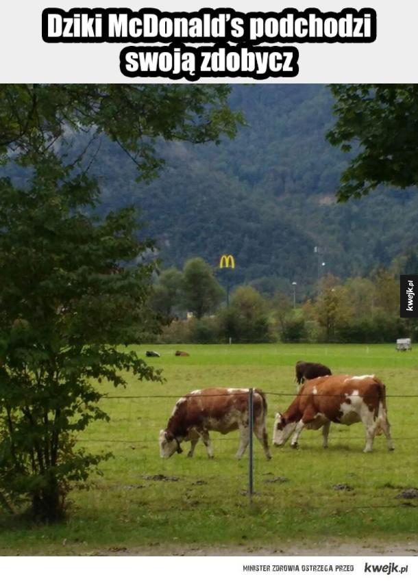 Czytała Krystyna Czubówna - Dziki Mc Donalds podchodzi swoją zdobycz. Którą są krowy. To generalnie znak mc donalda ale w tle gdzieś za krowami. I że niby on jest łowcą krów.