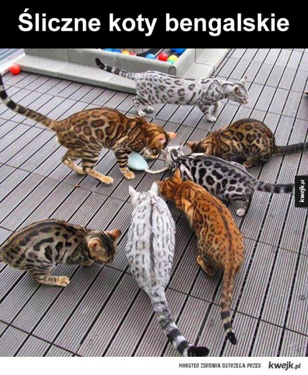 Koty bengalskie są najpiękniejsze