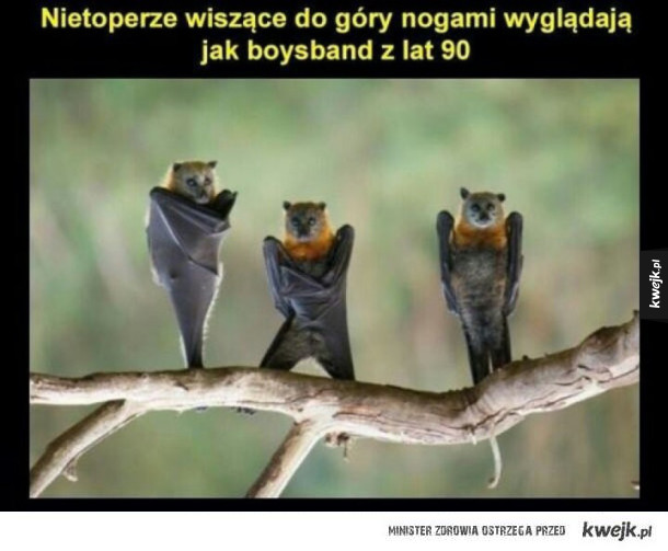 Nietoperze - Nietoperze wiszące do góry nogami wyglądają jak boysband z lat 90