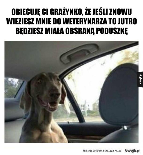 Pies jedzie do weta