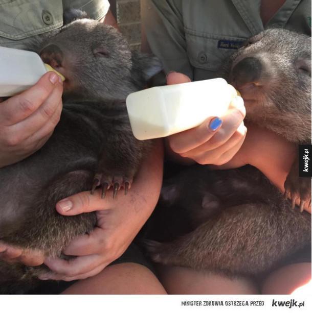 Wombaty są przeurocze
