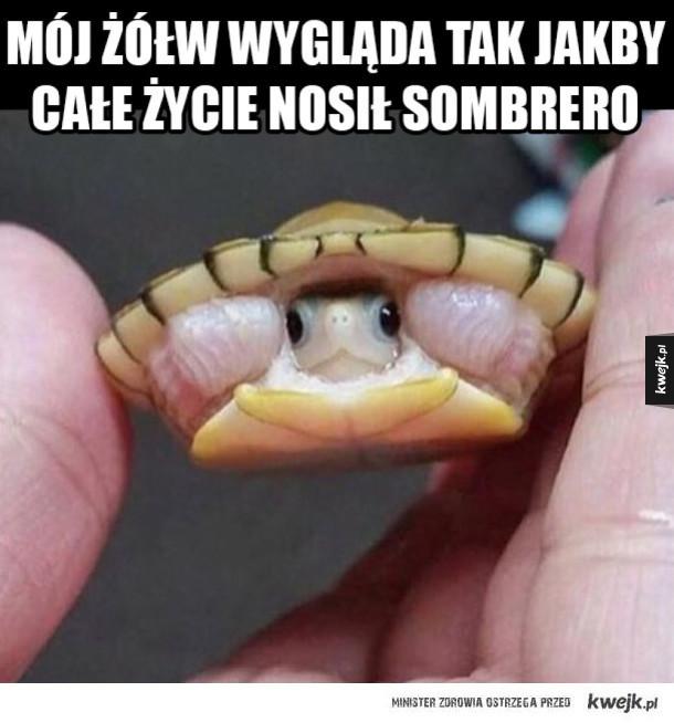 Żółw z Sombrero