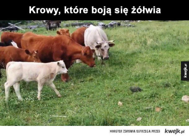 krowy się boją