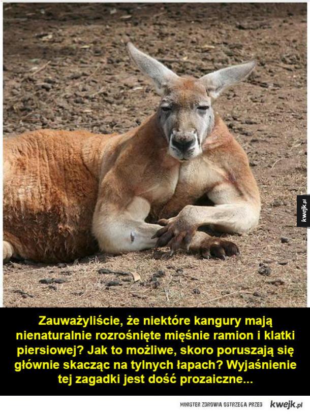 Kangury-kulturyści