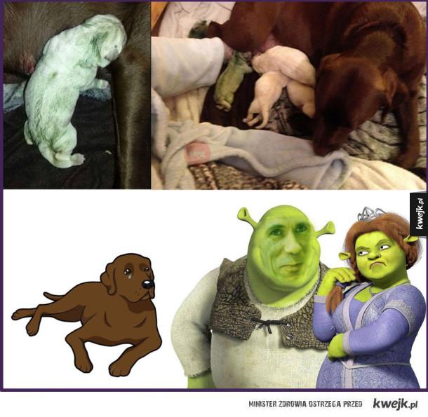 Shrek zdradził go