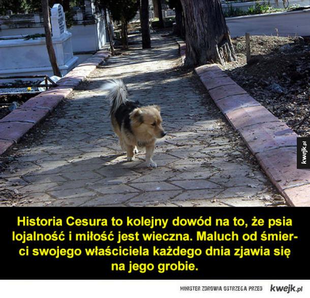 Historia Cesura, wiernego malucha