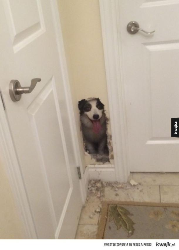 """Psy, które pokonują ogrodzenia i przeszkody, jakby chciały Ci powiedzieć """"Siema, ziom!"""""""
